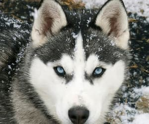 husky, wolf, and dog image