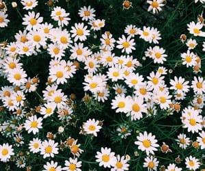 amazing, beauty, and daisy image
