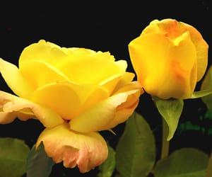 blume, rose, and gloria dei image
