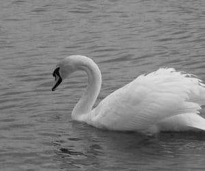 gray, Swan, and lake image