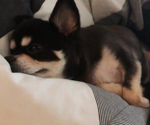 chihuahua, dog, and ruki image