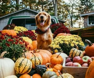 pumpkin, autumn, and dog image