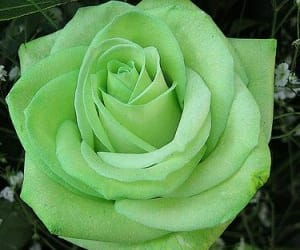 rose, green, and flowers image