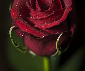 rose red and morning dew image