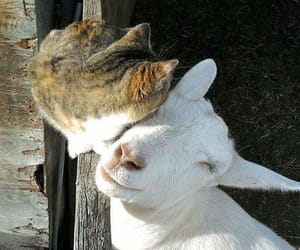 animal, cat, and goat image