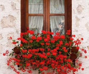 red, flowers, and photo image