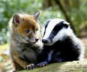 fox, badger, and animals image