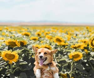 flowers, pics, and sunflowers image