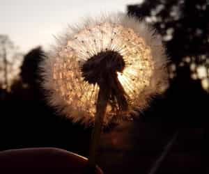 August, beautiful, and dandelion image