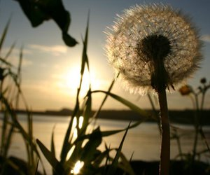 dandelion and summer image