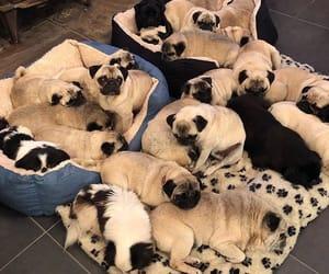 mops, pugs, and pug image