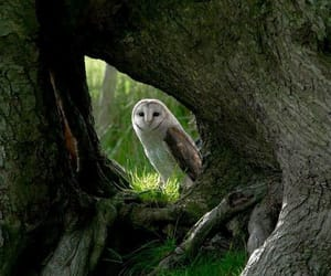 barn owl, owls, and nature photography image