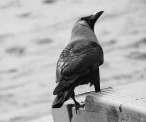 bird, crow, and depth of field image