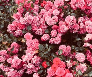 aesthetics, flowers, and roses image