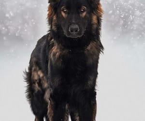 german shepherd image