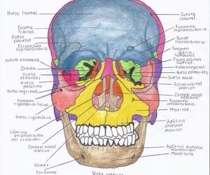 anatomy, art, and human anatomy image