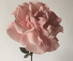 aesthetic, nature, and rose image