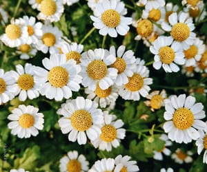 beautiful, chamomile, and flowers image