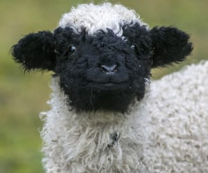 Animales, oveja, and granja image