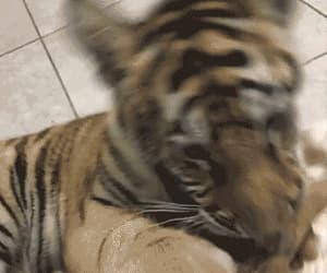 gif, cute baby gif, and animal tiger ghetto image