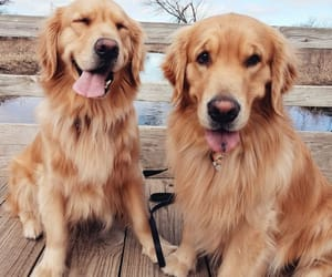 dog, animal, and golden retriever image