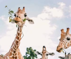 giraffe and animal image