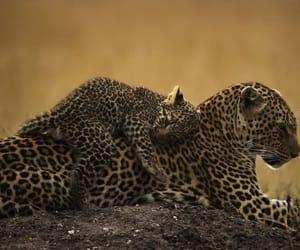 Animales, felinos, and leopardo image