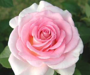flower and pink rose image
