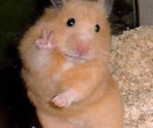 hamster and meme image
