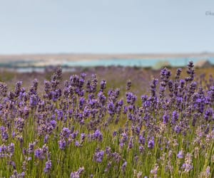 beauty, flowers, and lavender image
