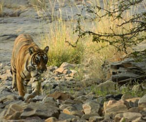 tiger, india tour, and lets tour bharat image