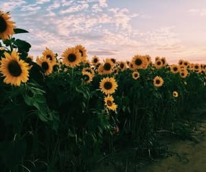 sunflower, nature, and sky image