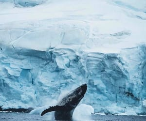 nature, ice, and whale image