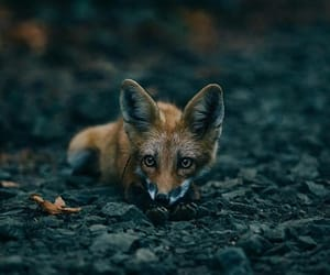 fox, android, and animals image