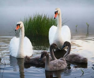 animals and swans image
