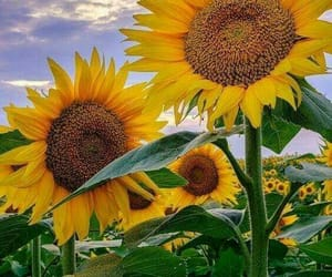flower, summer, and sunflowers image