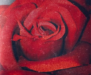 my photography and rose image