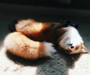 fox, cute, and animals image