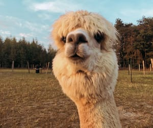 alpaca, animal, and face image