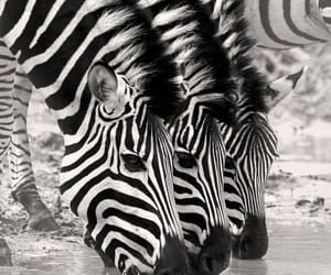 animals, black and white, and zebra image