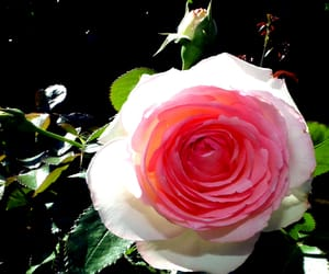 blossom, blume, and rose image