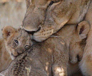 love, animals, and cubs image