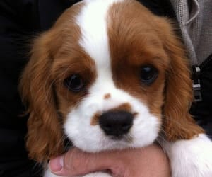 cocker spaniel, dog, and puppy image