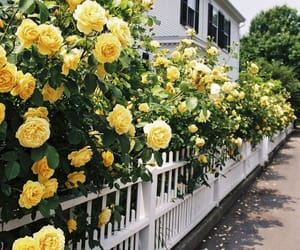 flowers, yellow, and roses image