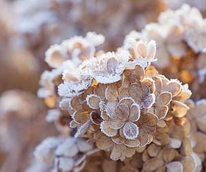 christmas, flower, and hortensia image