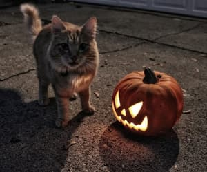 cat, Halloween, and pumpkin image