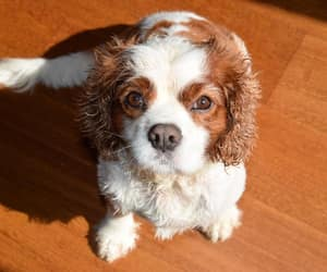 animals, puppies, and spaniels image