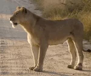 Animales, leona, and animals image