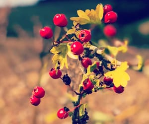 berries, photography, and countryside image