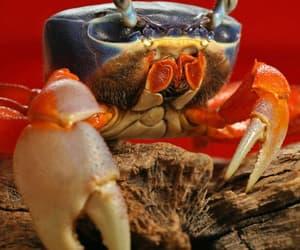 crab, oceanic, and crustacean image